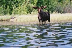 p16-claire-lake-moose