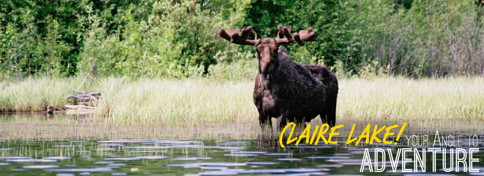 Claire Lake Gallery Moose