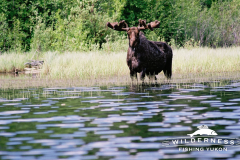 Claire Lake Moose