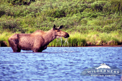 Teehnah Lake Moose