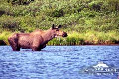 Teehnah Lake Moose
