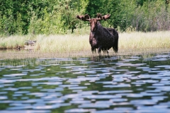 p16-claire-lake-moose